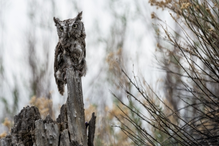Screech Owl looking forward perched on a tree stump