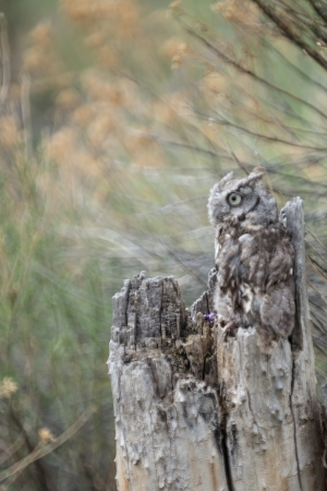 phillip rubino: Baby Screech Owl camoflaged in a tree stump Stock Photo
