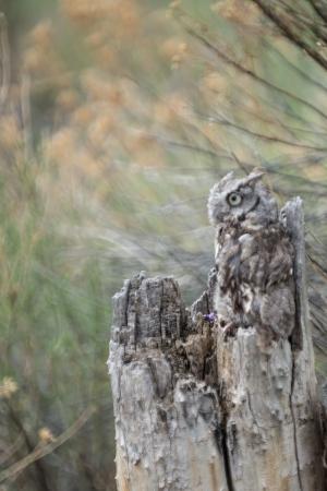 megascops: Baby Screech Owl camoflaged in a tree stump Stock Photo