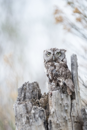 Baby Screech Owl Stock Photo - 22420433