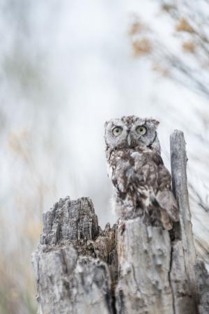 megascops: Bambino Screech Owl