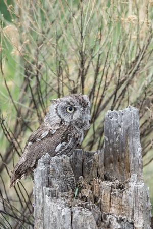 megascops: Bambino Screech Owl in un ceppo d'albero guardando a destra