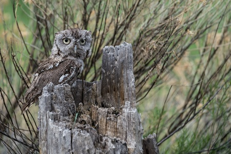 Baby screech owl in a tree stump looking straight ahead Stock Photo