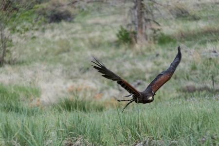 Soaring Falcon Stock Photo - 22420436