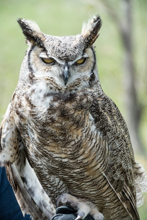 chasing tail: Great Horned Owl looking straight ahead