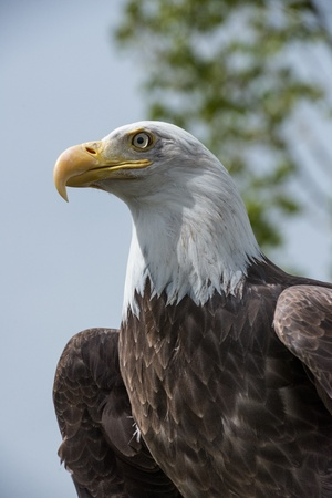 American Bald Eagle looking to the left Stock Photo - 22420445