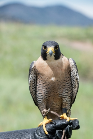 duck hawk in north america: Peregrine Falcon looking straight ahead on a gloved hand Stock Photo