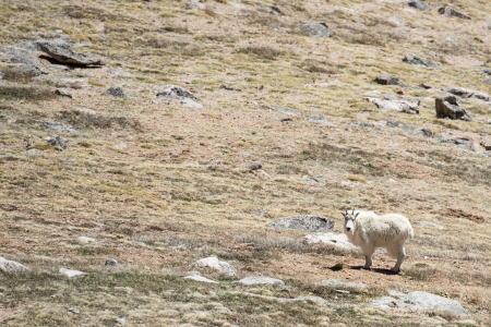 Family of mountain goats in the Rockies photo