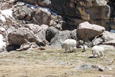 Family of mountain goats high in the rocky mountains Stock Photo