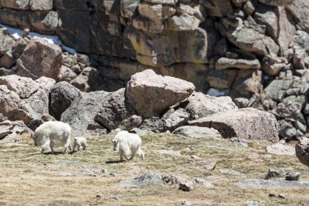 phillip rubino: Several mountain goats on a mountainside Stock Photo