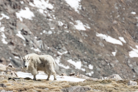 philliprubino: Mountain goats in a snow covered mountain field Stock Photo