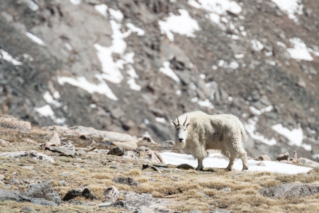 Mountain goat looking in the rocky mountains Stock Photo