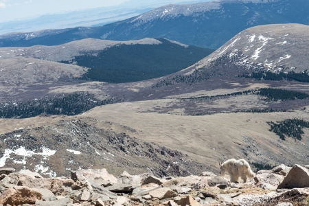 A view from the rocky mountains with a mountain goat photo