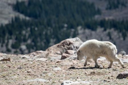 Mountain goat walking in the rockies photo