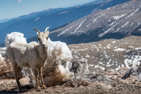 phillip rubino: Rocky mountain big horn sheep Stock Photo