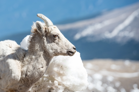 Big horn sheep on top of a mountain