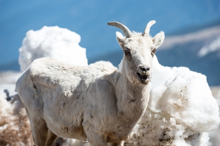 phillip rubino: Big horn sheep on a mountain top Stock Photo