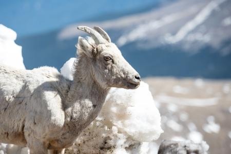 Closeup of big horn sheep and the Rockies