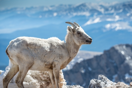 Big horn sheep with Rocky Mountain views