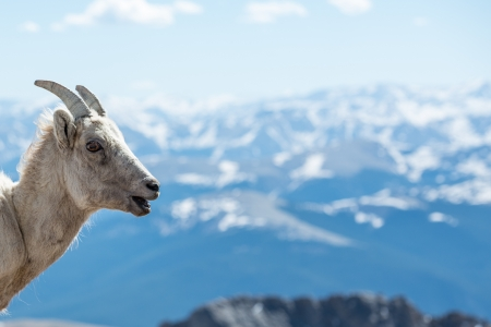 phillip rubino: Close up of big horn sheep in the Rocky Mountains