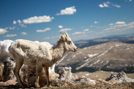 Big horn sheep in the Rocky Mountains photo
