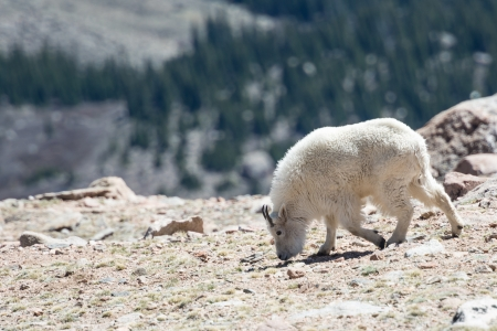 philliprubino: Mountain Goats in the Rocky Mountains