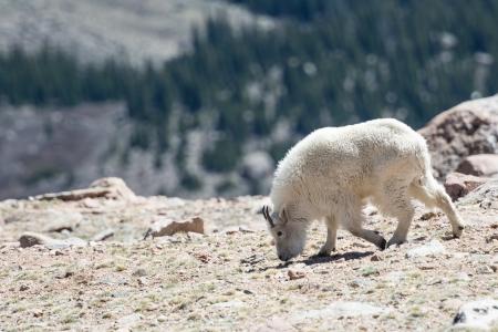 phillip rubino: Mountain Goats in the Rocky Mountains