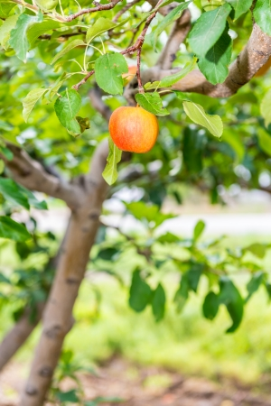 Peaches on a tree in an orchard of a local farmer