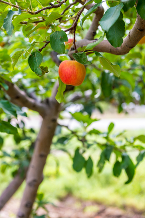 phillip rubino: Peaches on a tree in an orchard of a local farmer