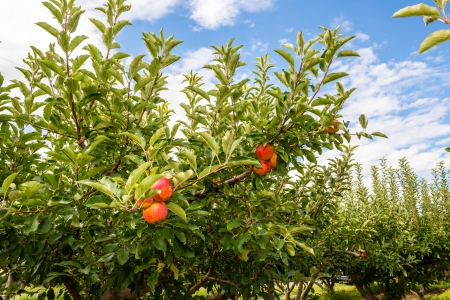 philliprubino: Plum  peach  tree with fruits growing in the orchard on a farm Stock Photo