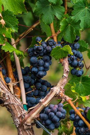 phillip rubino: Ripe bunches of red wine grapes on a vine