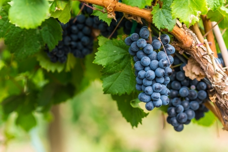 Ripe bunches of red wine grapes on a vine
