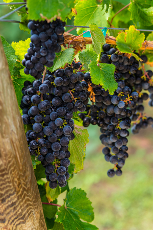 phillip rubino: Ripe bunches of red wine grapes on a vine