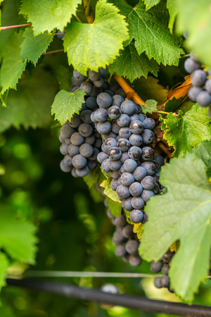 western slope: Large bunches of red wine grapes hang from an old vine in warm afternoon light Stock Photo