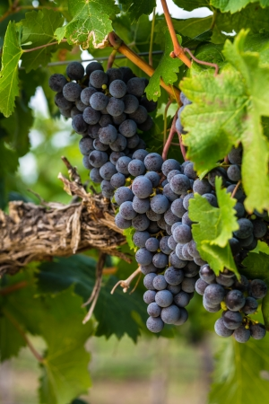 phillip rubino: Large bunches of red wine grapes hang from an old vine in warm afternoon light Stock Photo