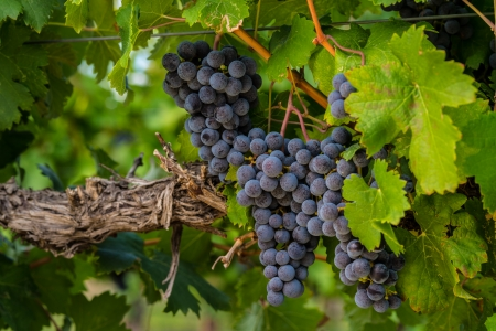 Large bunches of red wine grapes hang from an old vine in warm afternoon light photo