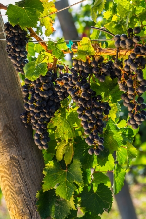 Large bunches of red wine grapes hang from an old vine in warm afternoon light Stock Photo