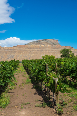 phillip rubino: rows of a vineyard with a mesa background