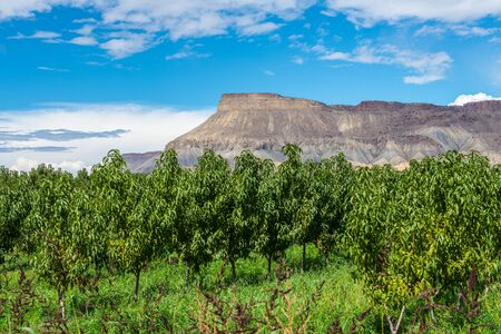 phillip rubino: Orchard trees and blue sky with mesa mountain