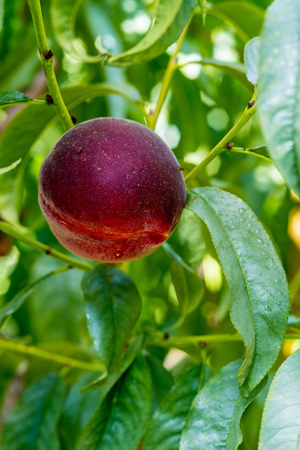 phillip rubino: Close up of large ripe peach hanging in a farmers orchard