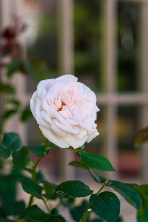 White rose with a window in the background