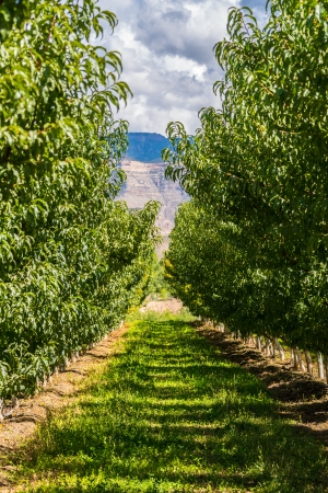 phillip rubino: Rows of an orchard with a mesa in the background