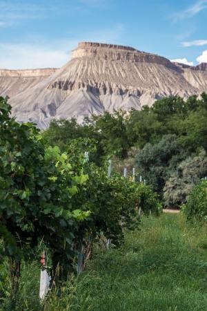 phillip rubino: Wine grapes ready for harvest in the vineyard Stock Photo