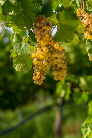ripe white grape on a vine with leaves in the warm sunlight in a winery