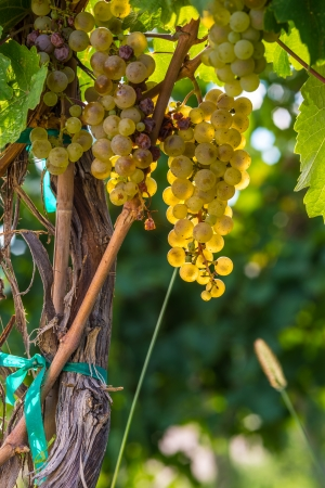 phillip rubino: ripe white grape on a vine with leaves in the warm sunlight in a winery
