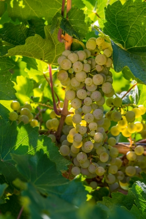 White grapes ready to be harvested