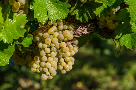White grapes ready to be harvested  photo