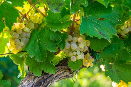 in a vineyard a bunch of white wine grapes hanging on a vine with the afternoon sun lighting them
