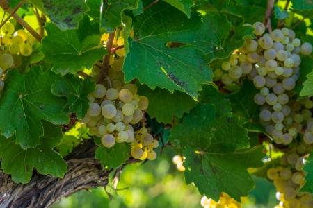 phillip rubino: in a vineyard a bunch of white wine grapes hanging on a vine with the afternoon sun lighting them