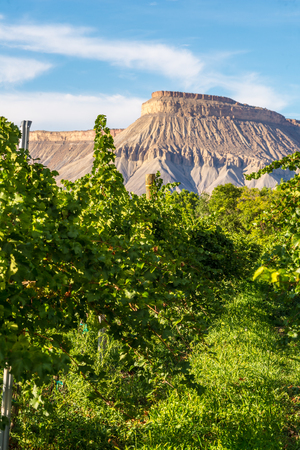 phillip rubino: Raws of grape vines at vineyard ready for harvest in Colorado  Stock Photo